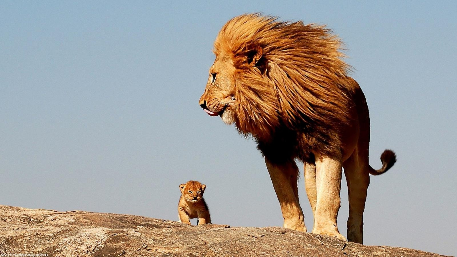 Lion-with-Baby-Lion-Photos
